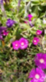 purple ice plant.jpg