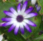 purple and white daisy.jpg