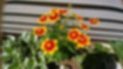 5.22.19 fiesta daisies .jpg
