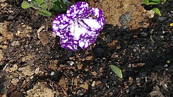 purple and white petunias.jpg