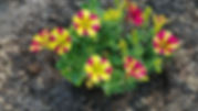 yellow and red petunias.jpg