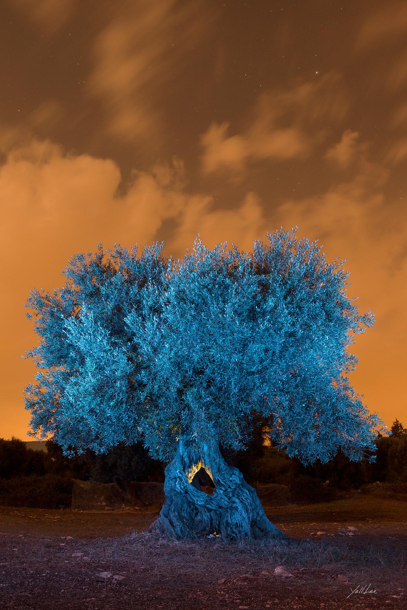 blue_olive_tree_가슴 뚫린 올리브나무