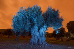 blue_olive_tree_오렌지색 하늘과 푸른 올리브나무