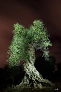 blue_olive_tree_자줏빛 하늘과 녹색 올리브나무