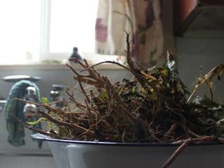 Roasted Roots: Dandelion Coffee