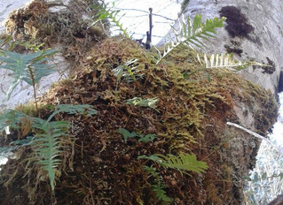 Licorice Fern Root & Ethical Wildcrafting Thoughts