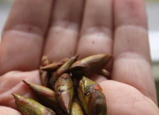 Tree Medicine: Poplar Bud Harvest and Medicine Making