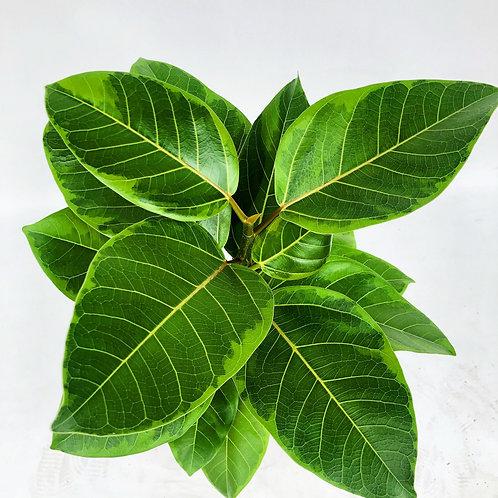 Ficus Altissima Varigata