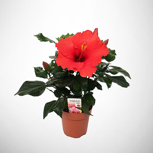 HibisQs Longlife 'Red'