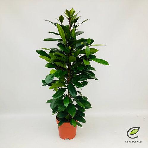 Ficus Cyathistipula (vijgenplant)