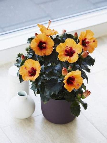 HibisQs Longlife 'Petit Orange'