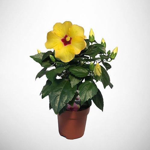 HibisQs Longlife 'Yellow'
