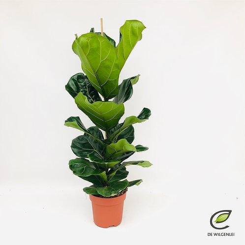 Ficus Lyrata 'tabaksplant'