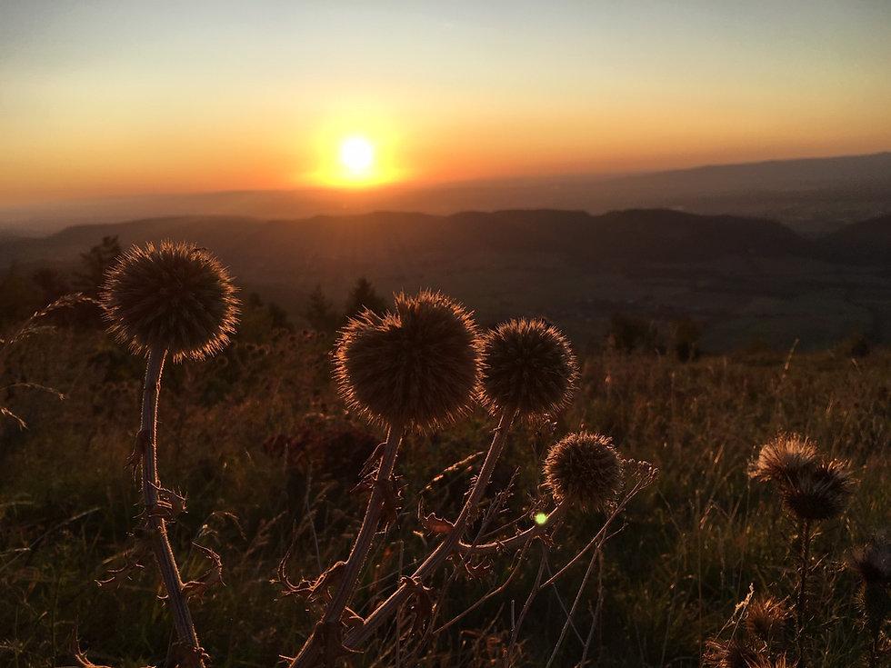 Kugeldistel_Sonnenuntergang.jpg
