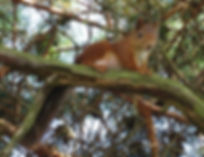 A red squirrel in an evergreen tree in Norway