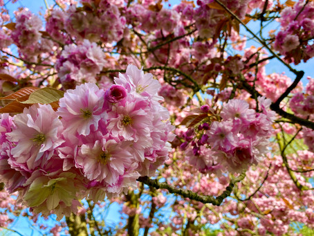 Celebrating the enduring appeal of cherry tree blossom