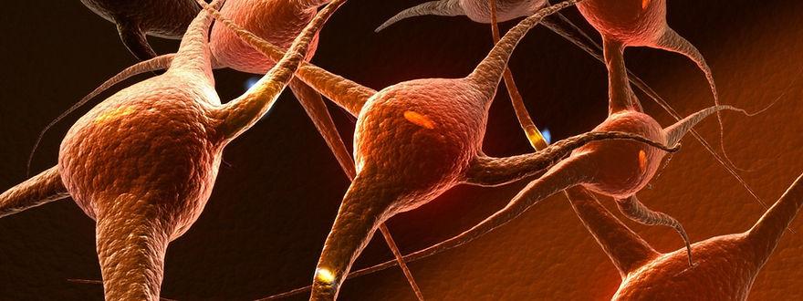 nervous system developement.jpg