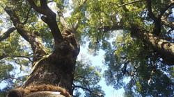 轟神社、樹齢700年の大楠