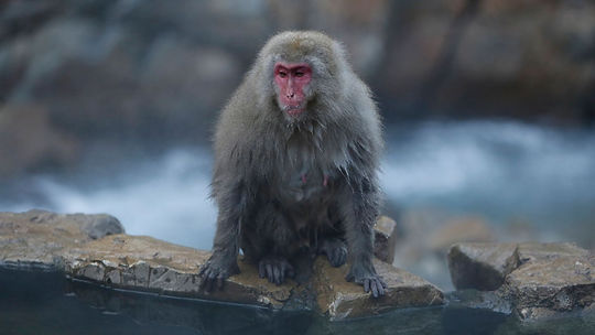 3447-a-japanese-macaque-takes-a-rest-on-