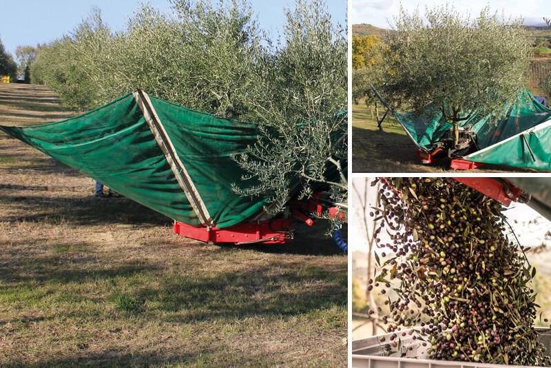 Castagna Alta Olivi