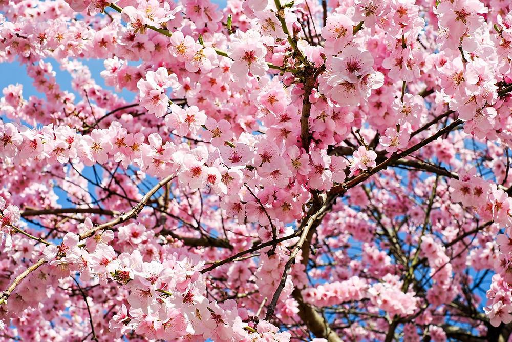 Cerejeiras, Pixabay