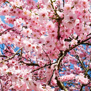 Flores de cerejeiras e a Primavera em Estocolmo