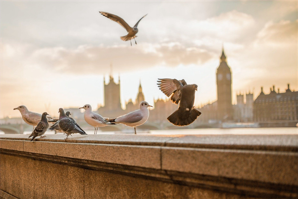 Pombas na beira do rio Tâmisa, Londres, Pixabay