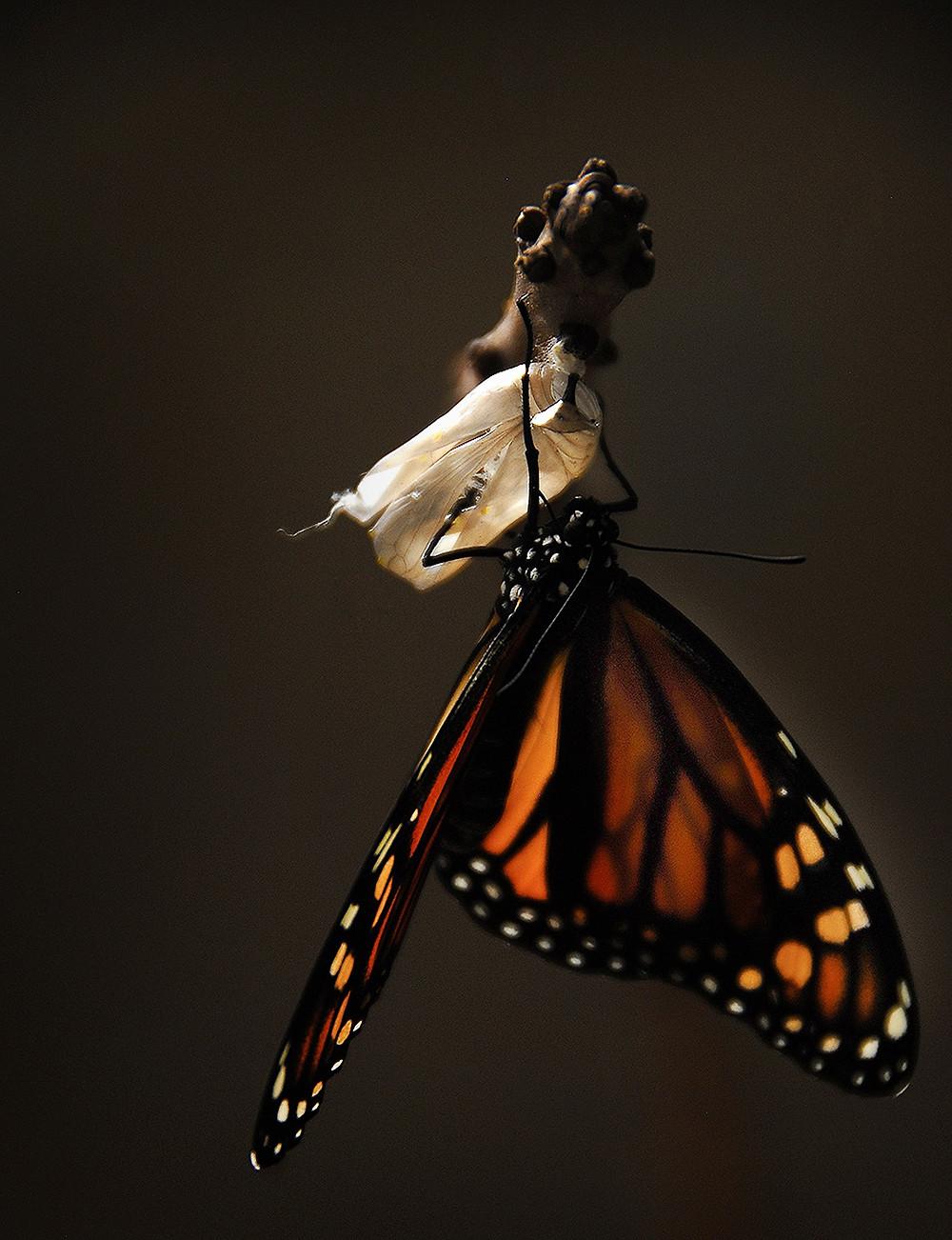 Borboleta e lagarta, Pixabay