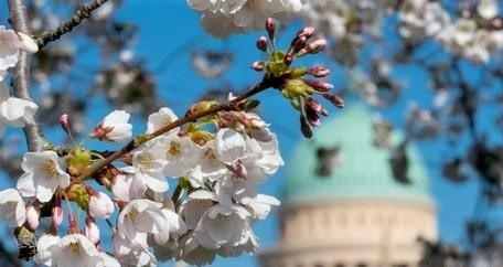 Cerejeira em Potsdam, Brandemburgo