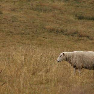 Mouton seul 1