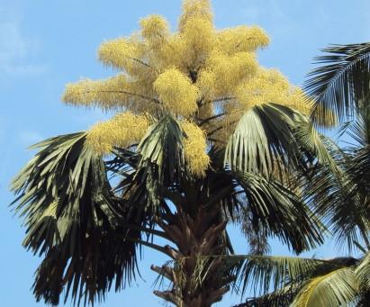 Corypha Umbraculifera தாளிப் பனை