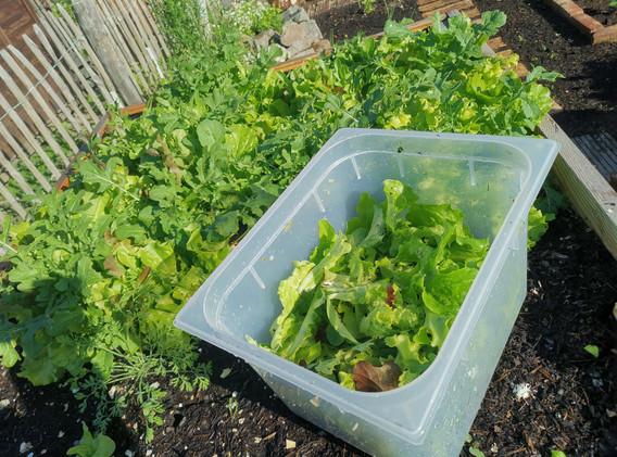 Italienische Salatmischung ernetreif.jpg