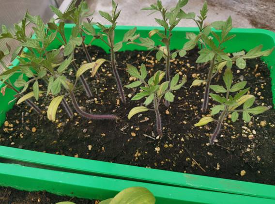Tomatenpflanzen prächtig.jpg