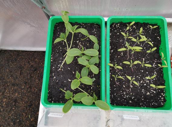 Gurken und Tomaten jung.jpg