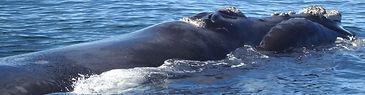 Right Whale.jpg