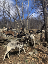 Rencontrer de bien belles compagnonnes de marche, les chèvres des montagnes.