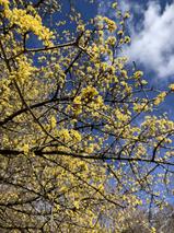 En cadeau de fin de randonnée, ce cornouiller sanguin qui nous offre la vue de ses plus belles fleurs, d'un jaune stupéfiant.