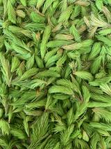 Cueillette de bourgeons de sapin rouge ou épicéa