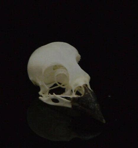 Javan Munia Bird Skull