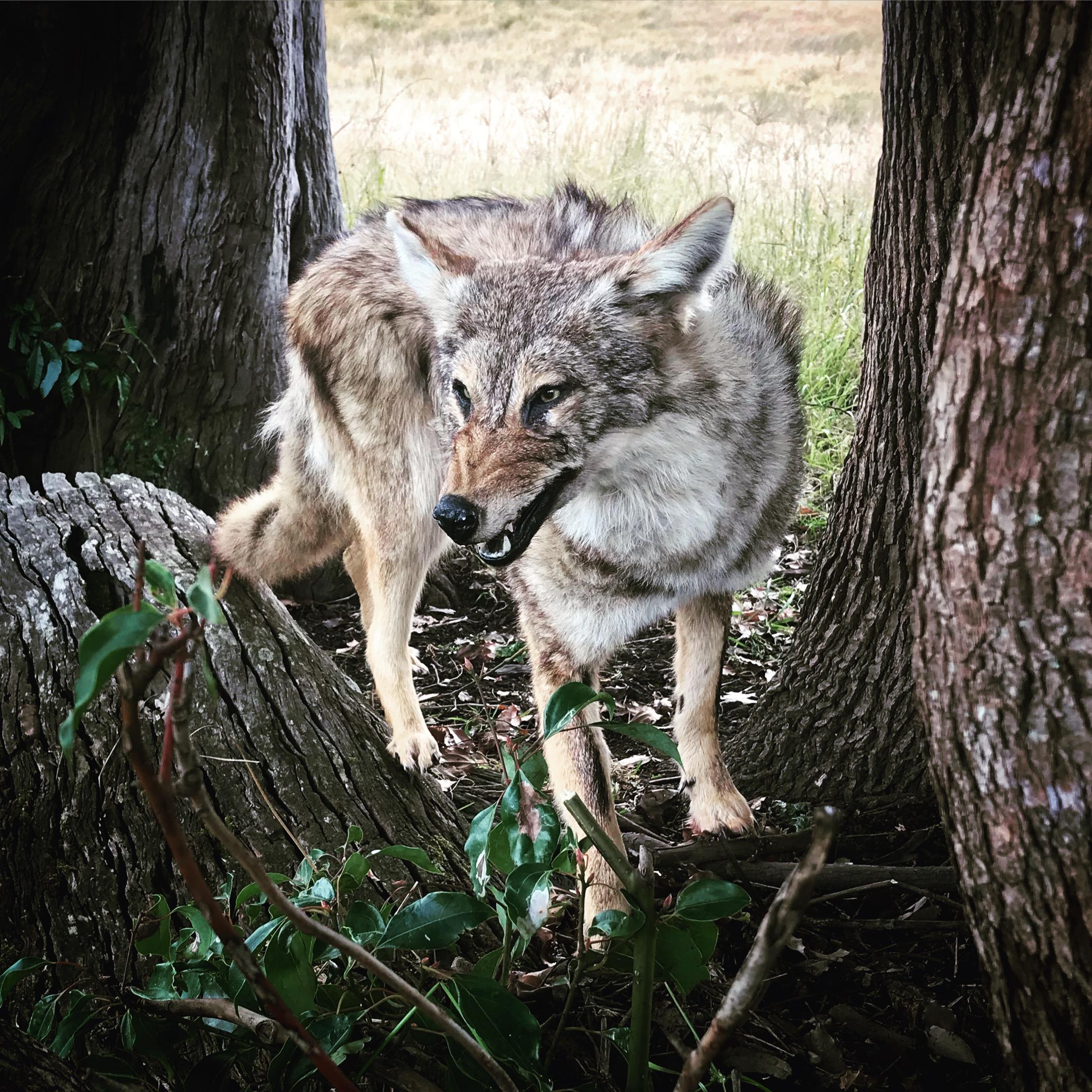 Coyote for Fox studio Australia
