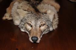 Coyote Headress