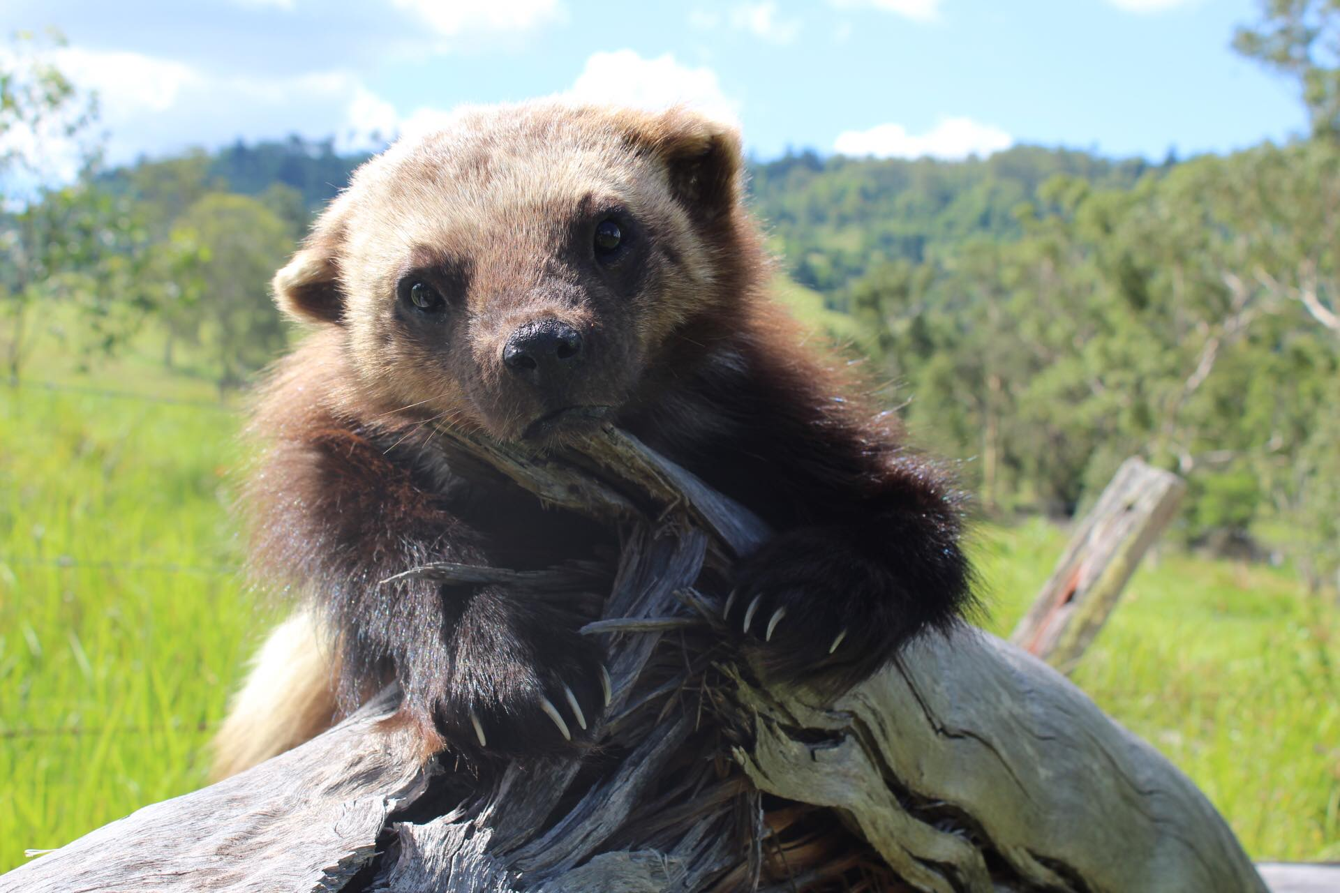 Luca the wolverine