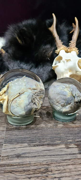 Heart wet specimens