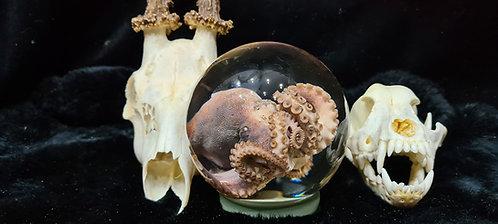Octopus Wet Specimens