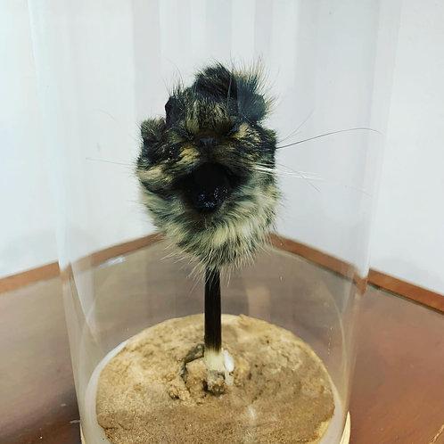 Feline shrunken head