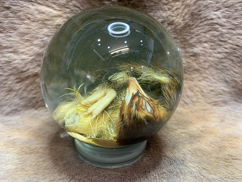 Wet Specimens - Unhatched chick #3
