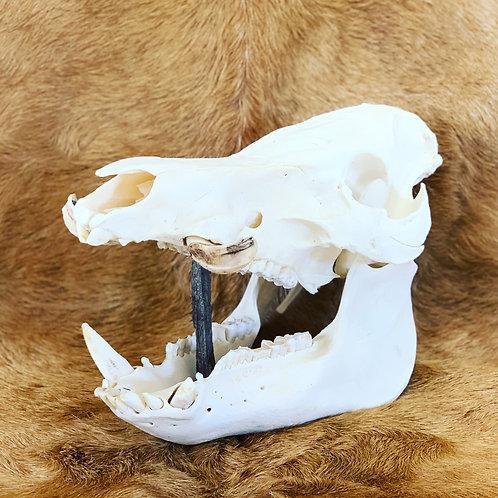 Boar skull with tusks