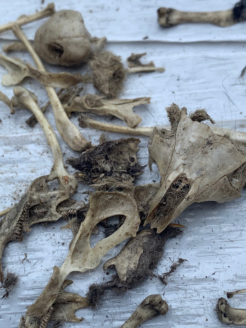Owl Pellet Dissection Science at home for elementary