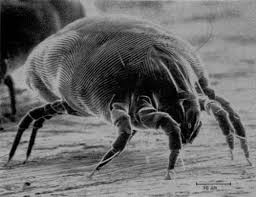 The House Dust Mite