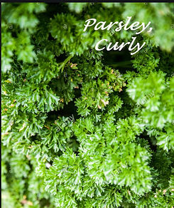 parsely Curley.jpg
